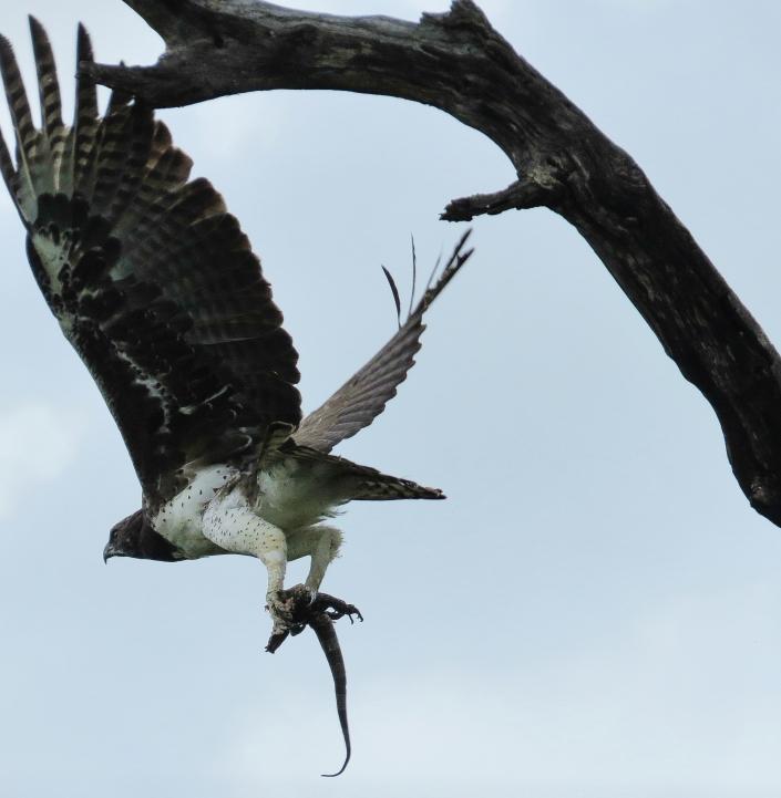 Martial Eagle2