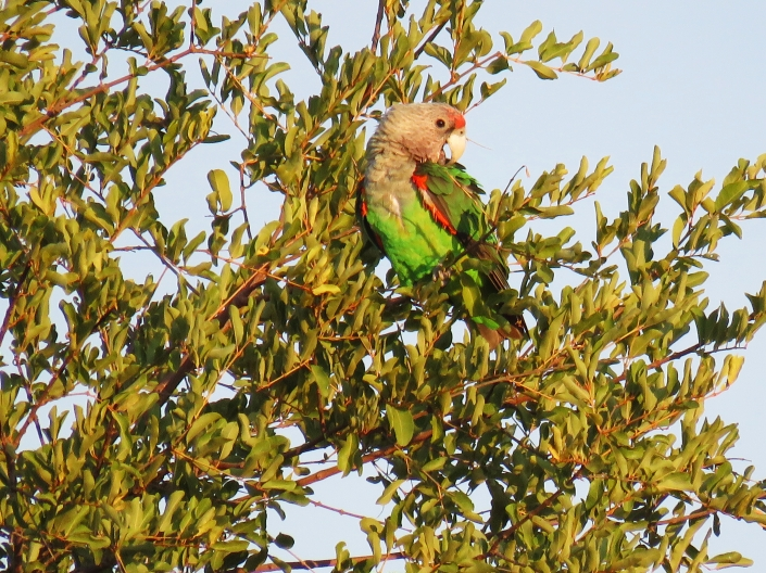 Grey-headed Parrot 1