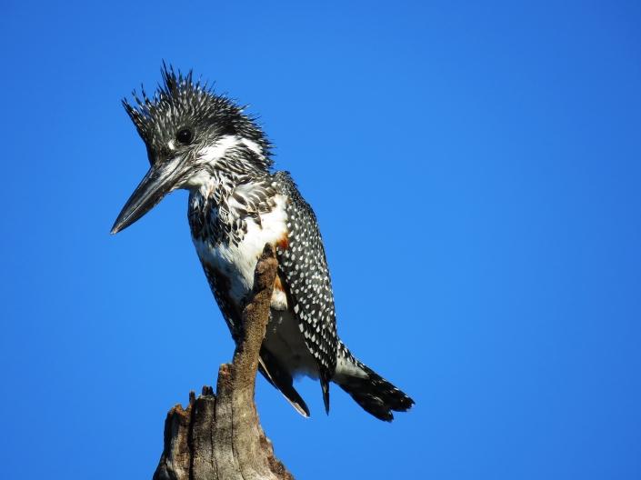 Giant Kingfisher1