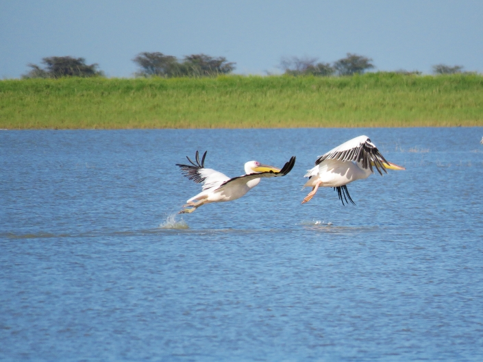 Great White Pelicans1