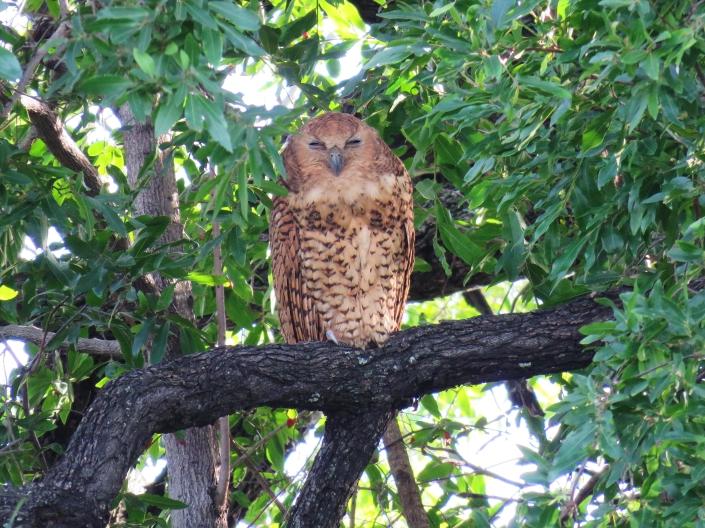 Pel's Fishing Owl 1