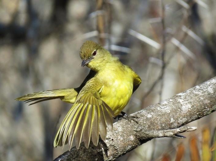 Yellow-bellied Greenbul1