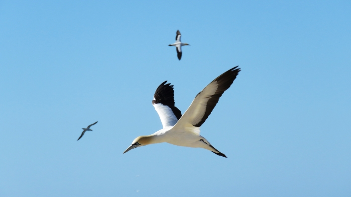 Cape Gannet 2