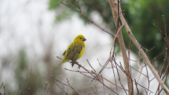 Cuckoo Finch 1