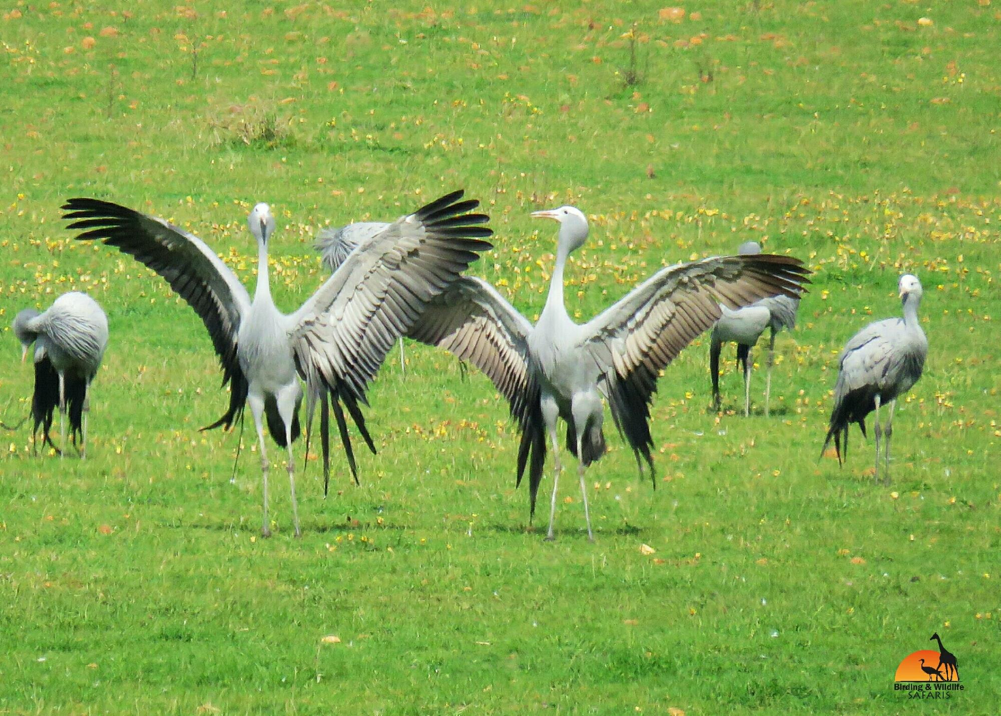 Blue Crane Birding And Wildlife Safaris